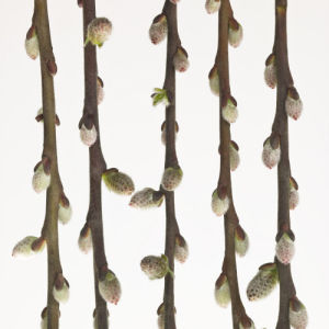 Close-up of Pussy Willow twigs on white by Assaf Frank