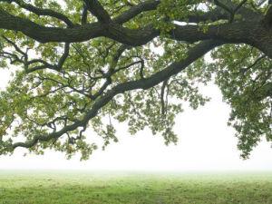 Oak tree branches in mist by Assaf Frank