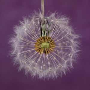 Close-up of dandelion clock by Assaf Frank