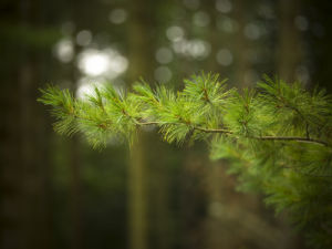 Pine tree branch close-up by Assaf Frank