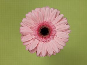 Close-up of Gerbera daisy on patterned background by Assaf Frank