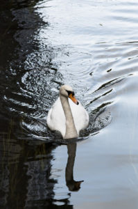 Close-up of swan in water by Assaf Frank
