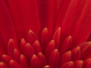Extreme close-up of red Gerbera daisy, full frame by Assaf Frank