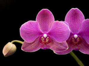 Orchid flower on black background by Assaf Frank