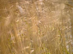 Reeds close-up by Assaf Frank