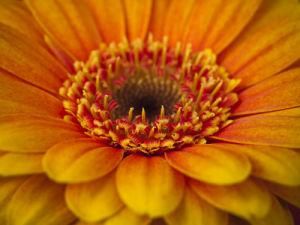 Gerbera flower extreme close-up full frame by Assaf Frank