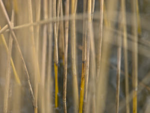 Reeds close-up by Assaf Frank