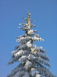 Christmas tree top covered in snow by Assaf Frank