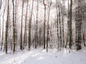 Trees in forest with snow by Assaf Frank