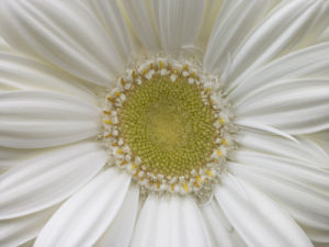 Extreme close-up of white Gerbera daisy, full frame by Assaf Frank
