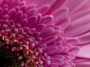 Extreme close-up of pink Gerbera daisy, full frame by Assaf Frank