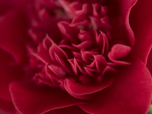 Red camellia (Camellia japonica), close-up by Assaf Frank