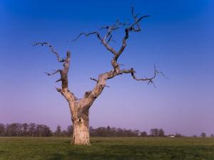 Berkshire, Old dead Oak Tree in Windsor park by Assaf Frank