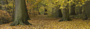 Yellow Leaves on forest floor with Trees in autumn, Berkshire UK by Assaf Frank