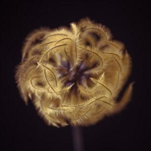 Clematis flower seeds close-up by Assaf Frank