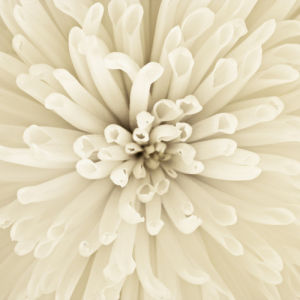 Chrysanthemum flower, extreme close-up by Assaf Frank