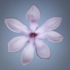 White Magnolia flower close-up by Assaf Frank