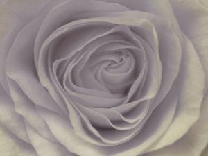 Rose, close-up by Assaf Frank