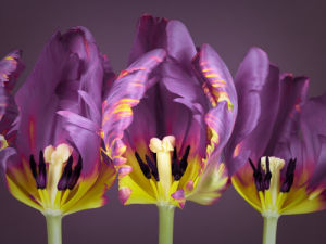 Three rococo tulips close-up (purple) by Assaf Frank