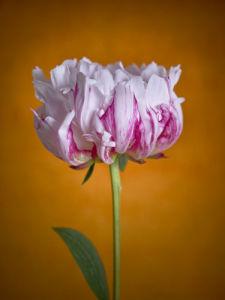Pink Peony flower, close-up by Assaf Frank
