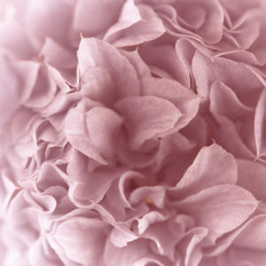 Pink camellia (Camellia japonica), close-up by Assaf Frank