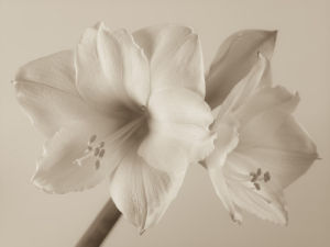 Close-up of White Amaryllis (sepia) by Assaf Frank