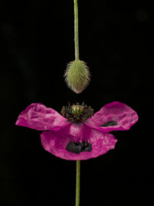 Close-up of pink poppy with flower bud hanging by Assaf Frank