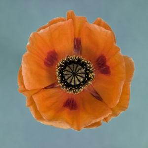 Close-up of orange oriental poppy by Assaf Frank