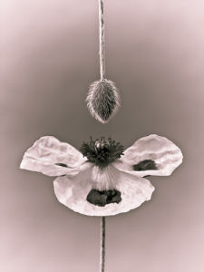 Close-up of poppy with flower bud hanging (Sepia) by Assaf Frank