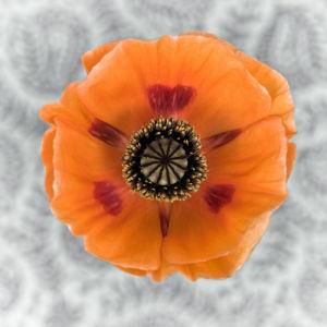 Close-up of orange oriental poppy on patterned background by Assaf Frank