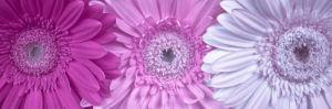 Gerber Daisy Flower, Close-up, Full frame by Assaf Frank