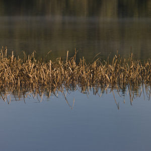 Reed in water by Assaf Frank