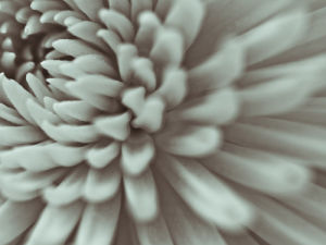 Close-up of Chrysanthemum flower, full frame by Assaf Frank