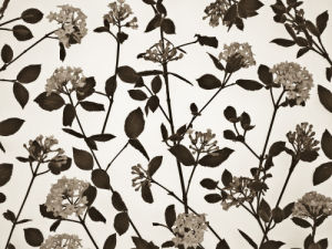Close-up of Viburnum Juddii flowers and stems design, studio shot (Sepia) by Assaf Frank