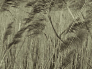 Reed plants close-up, abstract (sepia) by Assaf Frank