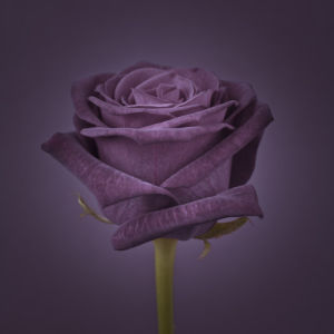 Violet Rose by Assaf Frank