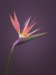 Single Heliconia Flower by Assaf Frank