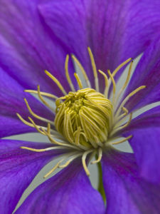 Extreme close-up of clematis flower, full frame by Assaf Frank