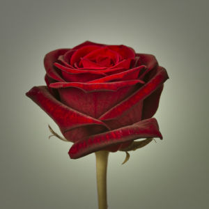 Red Rose on Grey by Assaf Frank
