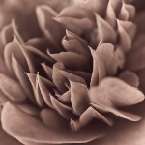 Camellia (Camellia japonica), close-up by Assaf Frank