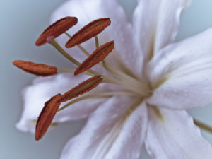 Close-up of White Lily by Assaf Frank