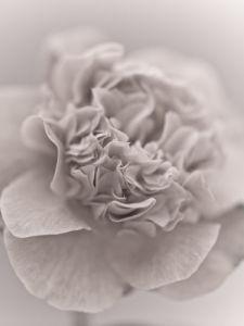 Camellia (Camellia japonica), close-up by Assaf Frank