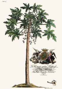 Palm Pl.14 Male Papaya Tree (Restrike Etching) by Georg Dionysus Ehret