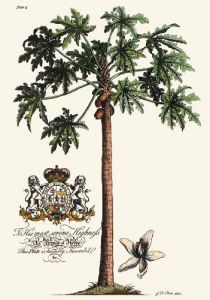 Palm Pl.15 Female Papaya Tree (Restrike Etching) by Georg Dionysus Ehret
