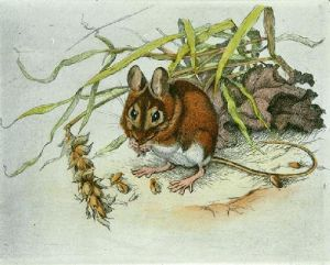 Dormouse (Restrike Etching) by Winifred Austen
