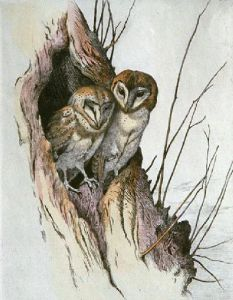 Barn Owls (Restrike Etching) by Winifred Austen