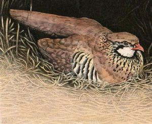 Red Legged Partridge (Restrike Etching) by Alex Mackay