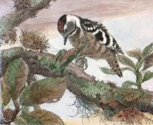 Young Woodpecker (Restrike Etching) by Winifred Austen