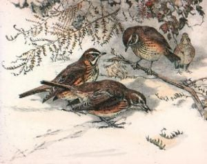 Redwings (Restrike Etching) by Winifred Austen