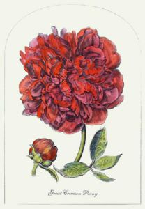 Great Crimson Peony (Restrike Etching) by Anonymous